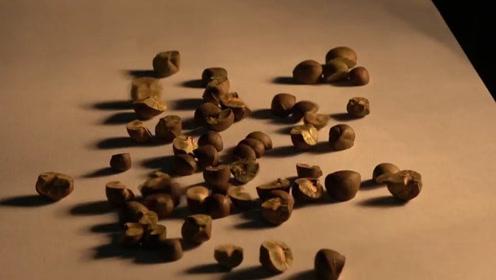 世界上竟然有会跳的豆子?老外好奇将它切开,瞬间被吓到了