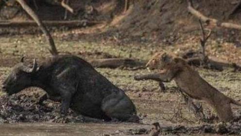 野牛失足陷入泥潭,狮子以为唾手可得,不料最后双双死亡!