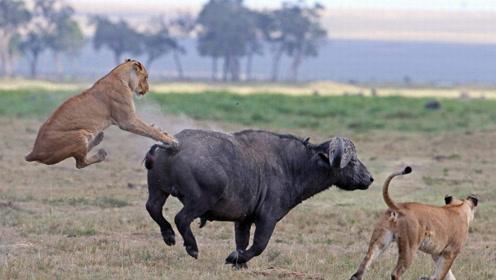 雄狮捕食一只水牛,死咬脖子不愿松开!