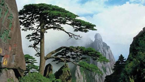 全球最珍贵的树,20克的叶子价值20万元,对其投保1个亿!