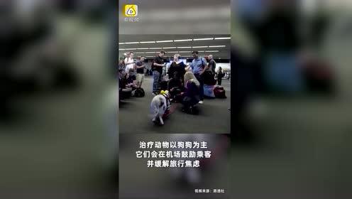 世界首只机场治疗猪:受过专业训练,可缓解乘客旅行焦虑