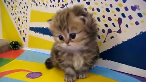 可爱的小波斯猫,而且有一窝呢