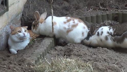 猫咪不小心掉进兔子窝,下一秒两只兔子的反应,请忍住不要笑