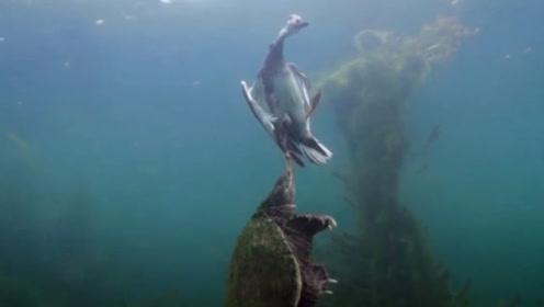 鸭子在水面游泳,却不知危险已经来临,下一秒直接被拖入水中