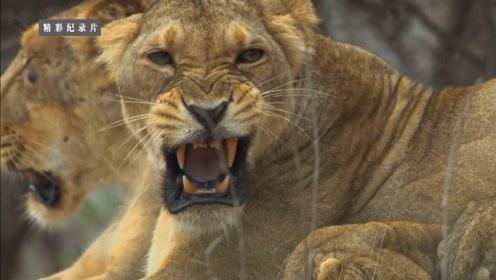 亚洲也有狮子吗?没错,印度的沙漠地区就有亚洲狮!