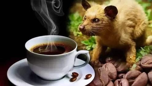 """""""千金难求""""的猫屎咖啡是如何制作而成的?看完你还想喝吗?"""