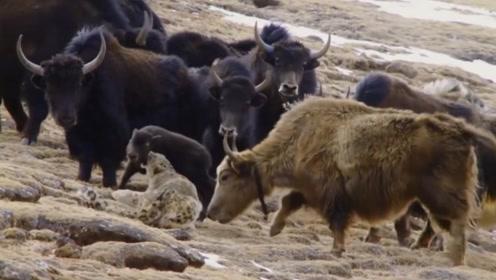 雪豹欲捕食耗牛幼崽,却惨遭母耗牛践踏,一脚下去半条命都没了