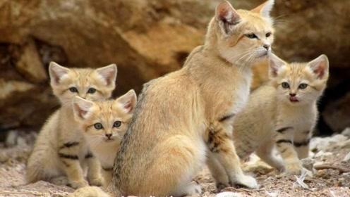"""绝迹十年的""""沙丘猫"""",研究组织花费4年时间,终于找到了"""