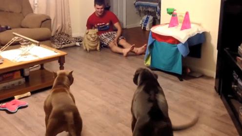 主人买回来只玩具猪,两只狗狗看见脾气立马上来了,请憋住别笑