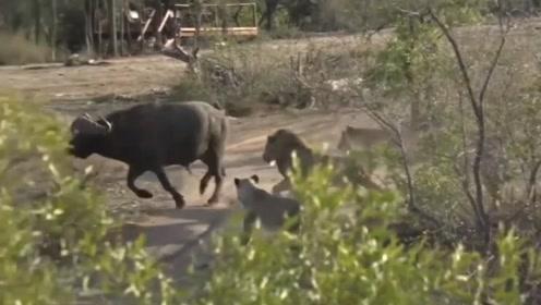 十几头狮子围攻一头野牛,反被野牛逃生,镜头拍下全过程