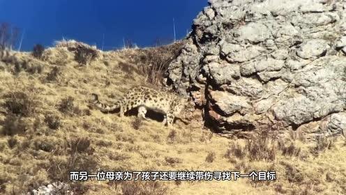 雪豹与牦牛激烈厮杀,700斤牦牛一脚下去,雪豹发出阵阵惨叫