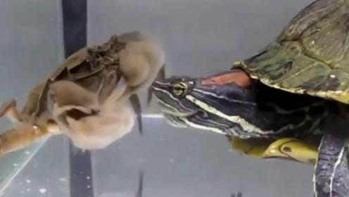 巴西龟的战斗力有多强?将它饿10天后放入螃蟹,一条腿瞬间没了