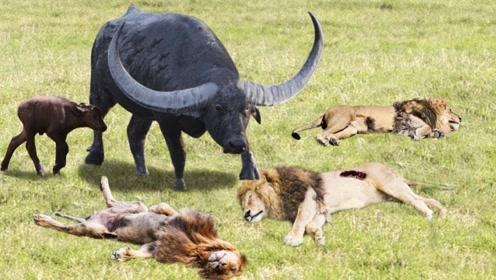 2头狮子追杀野牛,不料野牛突然发飙,镜头记录惨烈全程
