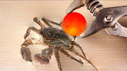 1000℃的铁球能把大闸蟹烤熟吗?老外大胆尝试,10秒后口水直流!