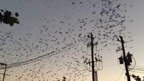 上百只鸟儿在高压线上停留,当它们集体起飞时,高压线瞬间爆炸