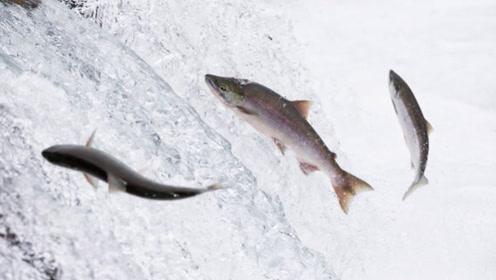 淡水鱼入海就会死掉,当黄河水汇入大海时,黄河的鱼都去了什么地方?