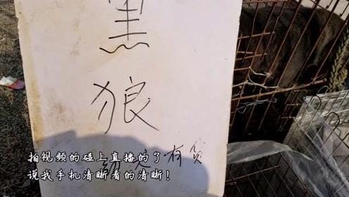 自驾游到徐州狗市,逛了一天,一只700元的卡斯罗,除了玉林这里狗最多