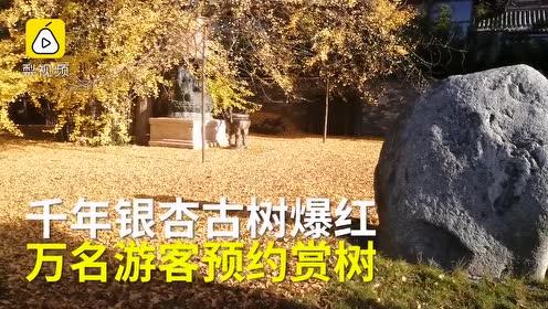 西安千年银杏古树爆火,游客守寺外狂刷抢票,排号排到5天后