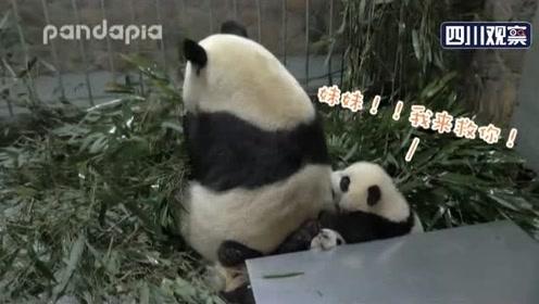 熊猫写日记 滚滚成为保护动物是有原因的!