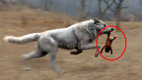 狼遇到人类的婴儿,为何会养大而不是自己吃掉?原因很简单!
