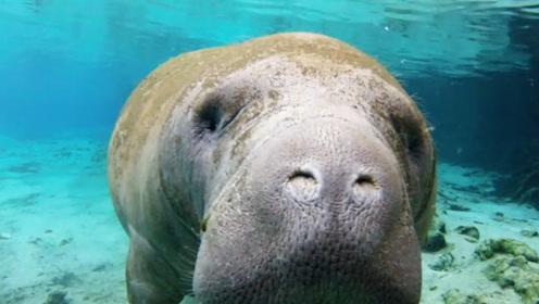 这种生物亲近人类,却因肉质鲜美被吃到灭绝,网友:正常