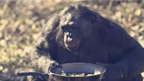 """猩猩界的""""大厨""""!掌勺20年做饭烧烤不在话下,比人做的还好吃!"""