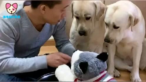 主人打假狗,两只真狗的反应太逗了,劝主人别打太重了