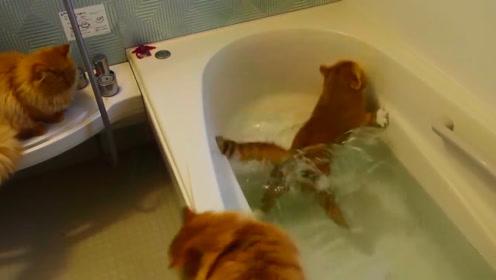 猫咪们自己洗澡,怕水竟然怕到这个地步,不小心落水瞬间笑哭网友
