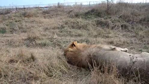 搞笑雄狮来回走动想要吵醒同伴,奈何人家睡得像个猪一样,最后只能出绝招了
