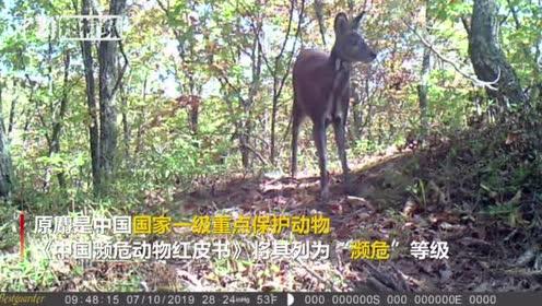 吉林天桥岭首次拍到濒危原麝影像