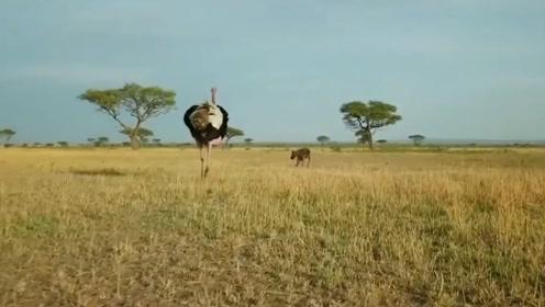这群鬣狗也太聪明了吧,为了偷盗鸵鸟蛋,学会了用调虎离山