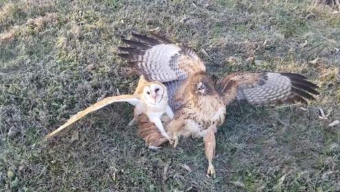 猫头鹰被老鹰捉住,机智的向男子求救,结果会是怎样?