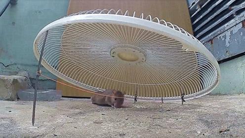 老外用电风扇盖子制作的捕鼠神器,小材大用,老鼠插翅难逃!