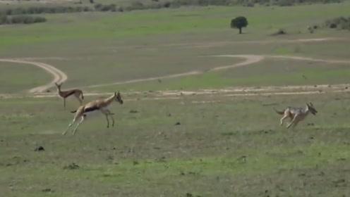 豺狼捕食小野鹿,被发现后,被追赶了几条街