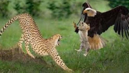 """小豹子被老鹰叼走,母豹子救子心切,爬树将老鹰撕成""""碎片"""""""