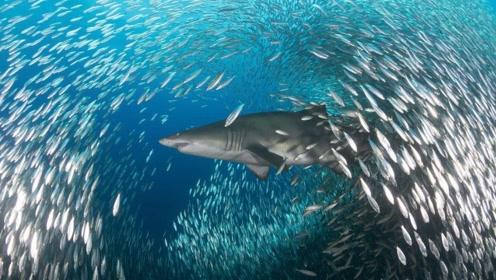 大白鲨弱爆了,它才是海中的人类致命杀手