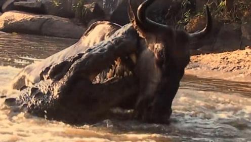 一群角马在河边喝水,下一秒,悲剧发生了