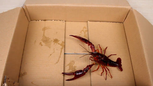 小龙虾在真空中能活吗?老外亲自实验观察,难怪龙虾会泛滥!