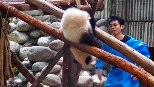熊团子耍赖不肯回家,结果卡在木架上下不来,画面逗翻众人