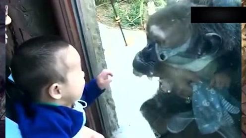 猩猩的生活方式多自由自在?网友:真是走出了不一样的气势!
