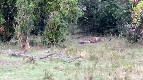 豹子与蟒蛇为了猎捕同一只黑斑羚而生死大战 蟒蛇头骨被咬穿