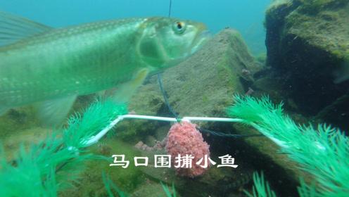小鱼克星马口霸气侧漏,捕食小鱼场面值得欣赏