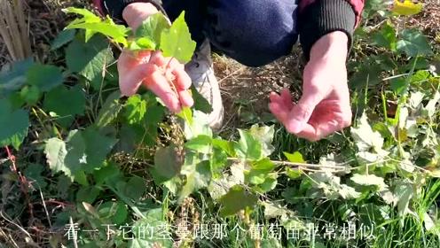"""长得似""""葡萄""""的植物,农村人常见田埂边上,了解一下它的用途"""