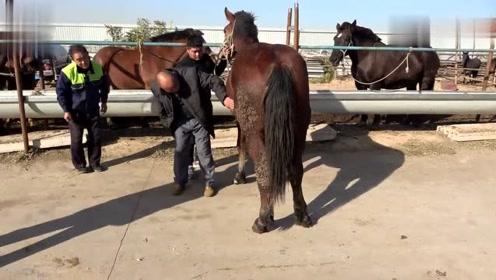 重型马生的马驹就是大,请来骟马师傅骟马,师傅说还不到时候哩