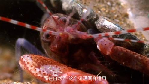 虾界的扛把子?能发出4700度高温,发出的响声能避开声呐追踪!