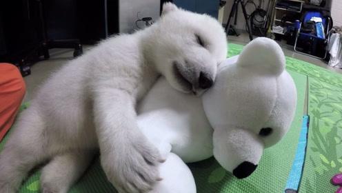 北极熊宝宝出生6天就没了妈妈,十分孤独,靠一个大玩具成功长大