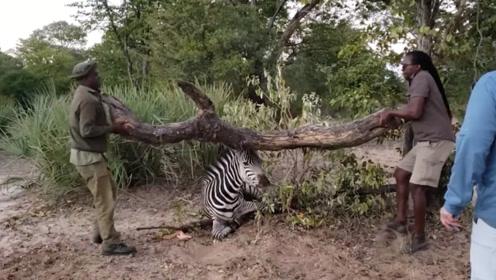 斑马被铁丝困住,两男子却搬起了枯树干,砸向斑马?