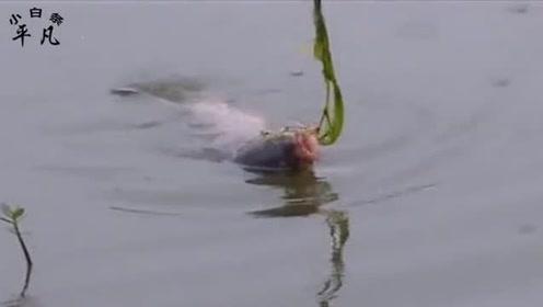 钓草鱼怎样钓中鱼机率大,钓鱼高手教你双钩跑铅钓法,草鱼吃不停