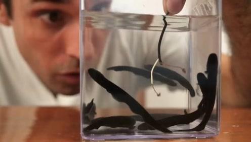 电鳗怕电吗?小伙把电鳗放入水中后通电,结果你猜怎么着!