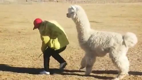 小伙草原大战羊驼,不料被各种虐,这也太尴尬了!